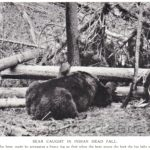 Deadfall Bear Trap watermarked